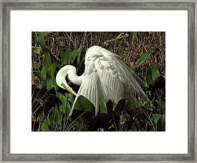 Preening Egret Framed Print