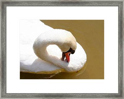 Framed Print featuring the photograph Preening Swan Two by Paula Tohline Calhoun