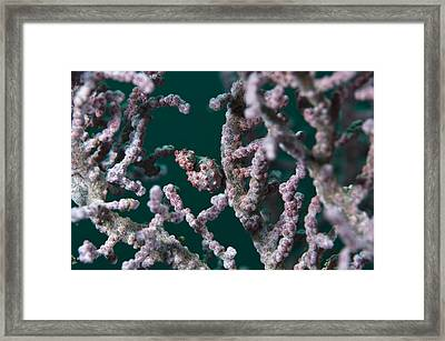 Pregnant Pygmy Seahorse Framed Print by Matthew Oldfield