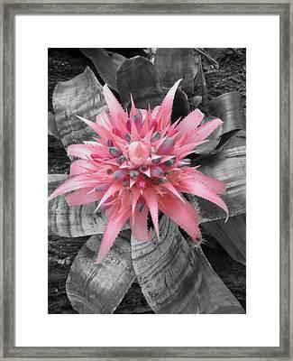 Pretty Bromeliad Framed Print by Carrie Munoz
