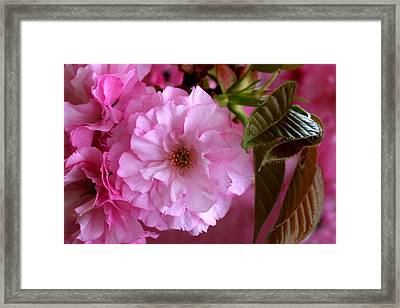 Pretty In Pink Blossom Framed Print