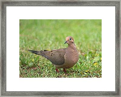 Pretty Mourning Dove Framed Print