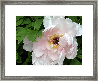 Pretty Peony Framed Print by Kimberly Mackowski
