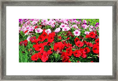 Pretty Petunias Framed Print