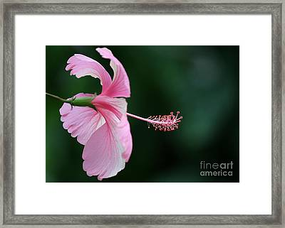 Pretty Pink Hibiscus Framed Print by Sabrina L Ryan