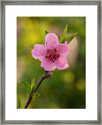 Pretty Pink Peach Framed Print