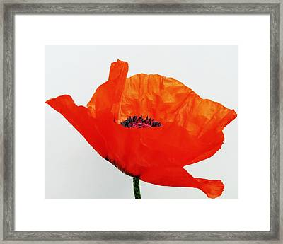 Pretty Poppy Framed Print by Ramona Johnston