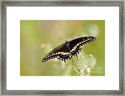 Pretty Swallowtail Framed Print by Ginger Harris