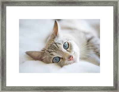 Pretty White Cat With Blue Eyes Laying On Couch. Framed Print