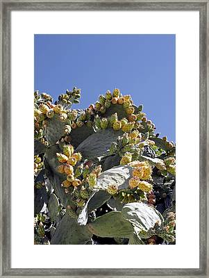Prickly Pear Cacti (opuntia Sp.) Framed Print by Carlos Dominguez
