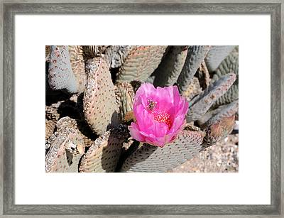 Prickly Pear Cactus Fertilized By Honey Bee Framed Print by Gary Whitton