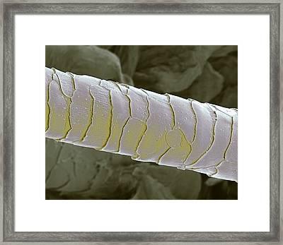 Primate Eyelash, Sem Framed Print by Steve Gschmeissner