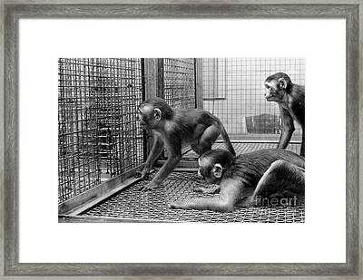 Primate Research Framed Print by Science Source