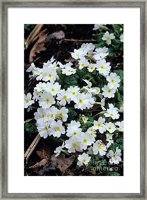 Primroses Framed Print by Adrian Thomas
