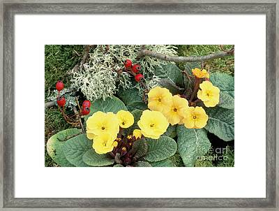 Primroses Framed Print by Archie Young