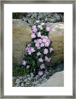 Primula Allionii 'cloud Flight' Flowers Framed Print by Vaughan Fleming