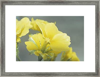 Primula Polyanthus 'hose In Hose' Framed Print by Archie Young
