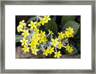 Primula Verticillata Flowers Framed Print by Bob Gibbons