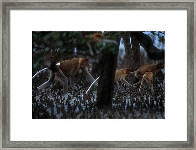Proboscis Monkeys Travel Over Mangrove Framed Print by Tim Laman