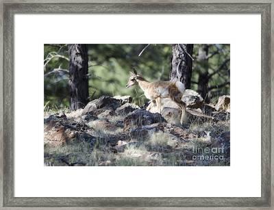 Pronghorn Antelope Fawn Framed Print