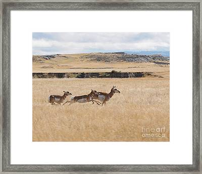 Framed Print featuring the photograph Pronghorn Antelopes On The Run by Art Whitton