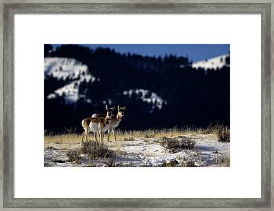 Pronghorn (antilocarpa Americana) Framed Print by Altrendo Nature