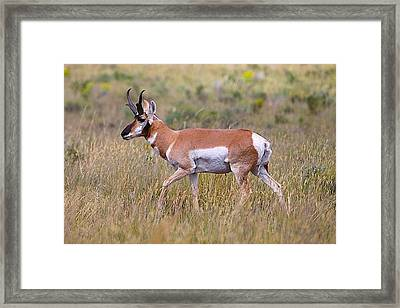 Pronghorn Buck Framed Print