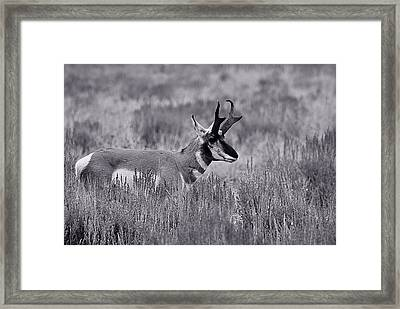 Framed Print featuring the photograph Pronghorn  by Eric Tressler