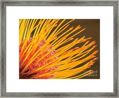 Framed Print featuring the photograph Protea by Ranjini Kandasamy