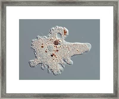 Proteus Amoeba, Light Micrograph Framed Print by Gerd Guenther