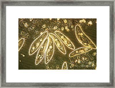 Protozoa, Paramecium, Lm Framed Print by Eric V. Grave