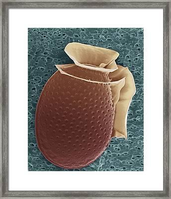 Protozoan, Sem Framed Print by Steve Gschmeissner