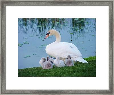 Proud Mother Swan Framed Print by Jeanette Oberholtzer