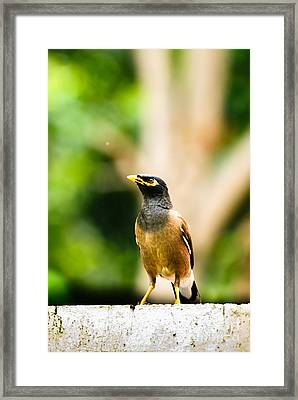 Proud Myna Framed Print by Syed Aqueel