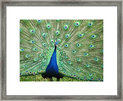 Proud Peacock Framed Print by Bonnie Muir