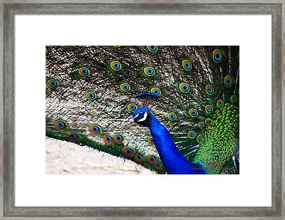Proud Peacock Framed Print by Sheryl Cox