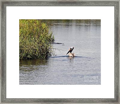 Proud Pelican Framed Print by Al Powell Photography USA