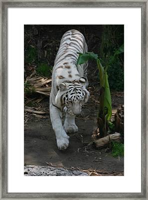 Prowling Framed Print by Stephanie Hopkins