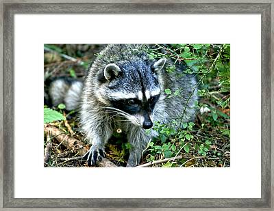 Framed Print featuring the photograph Pt. Defiance Raccon by Rob Green