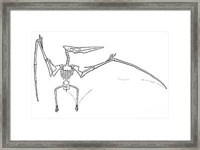 Pteranodon Longiceps Framed Print by Science Source