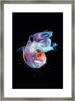 Pteropod Mollusc, Candida Species Framed Print by Sinclair Stammers