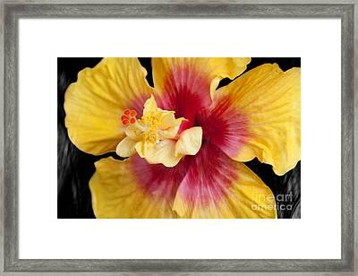 Pua Aloalo Kahaulani Lahilahi Tropical Hibiscus Hawaii Framed Print by Sharon Mau