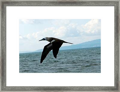 Puerto Vallarta - A Bird In Flight  Framed Print