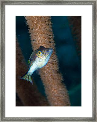 Puffer Profile Framed Print by Jean Noren