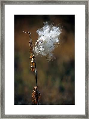 Puffy Milkweed Fluff Framed Print