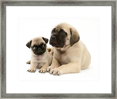 Pug And English Mastiff Puppies Framed Print
