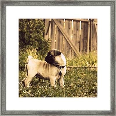 Pug Pose Framed Print by Taryn