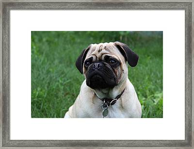 Pug Pup Framed Print by Kim French