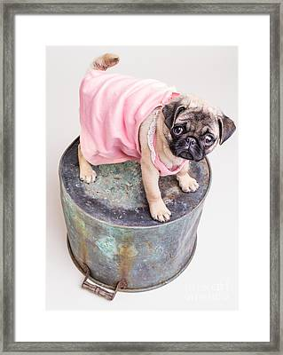 Pug Puppy Pink Sun Dress Framed Print by Edward Fielding