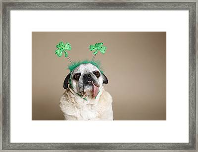 Pug With Tongue Framed Print